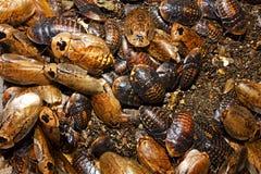 Cockroaches archimandrita tessellata Royalty Free Stock Images