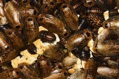 Cockroaches archimandrita tessellata Royalty Free Stock Photos
