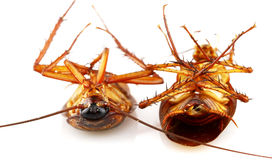 Cockroaches. A brown cockroaches on white background Stock Photos