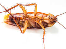 Cockroaches carry diseases that you have to eliminate. Royalty Free Stock Photos