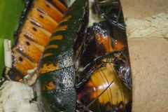 Cockroaches close-up macro. Madagascar hissing cockroaches macro photo close-up huge beetles Royalty Free Stock Photos