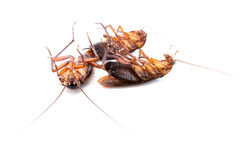 Cockroaches dead. On white background Stock Photo