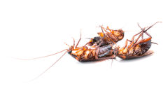 Cockroaches dead Royalty Free Stock Images