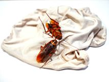 Cockroaches are on ladies underwear. royalty free stock image