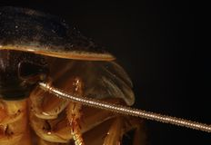 Cockroaches Royalty Free Stock Images