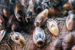Cockroaches on the old wooden background Royalty Free Stock Photo