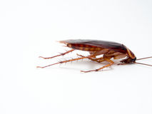 Cockroaches small animals distract a annoying causes of disease. Royalty Free Stock Photos