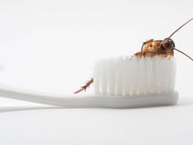 Cockroaches stick on the tip of a white toothbrush. Cockroaches are carriers of the disease Royalty Free Stock Image