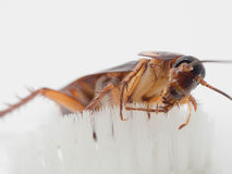 Cockroaches stick on the tip of a white toothbrush. Cockroaches are carriers of the disease stock photo