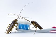 Cockroaches are on the toothbrush on a white background. Cockroaches are on the toothbrush on a white background. Cockroaches are on the toothbrush on a white stock image