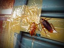 Two large cockroaches on an iron curtain in Thailand.  royalty free stock photography