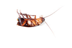 Cockroaches on white background. Cockroaches dead on white background stock image