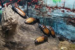 Cockroaches on the wood. At the terrarium Royalty Free Stock Photo