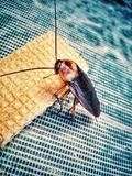 Cockroaches in the world. Cockroaches are animals living on residential homes like the biting food, clothing, household appliances, Most people, or almost Stock Photo