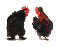 Cocks Stock Photography