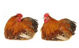Cocks Stock Images