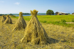 Cocks of hay in field Royalty Free Stock Photography