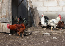 Cocks and hens Stock Image