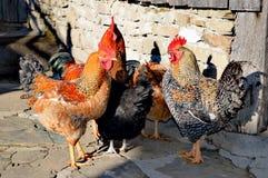 Cocks Royalty Free Stock Image