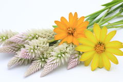 Cockscomb和百日菊属在白色背景中 库存图片