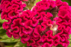 Cockscomb. Colorful cockscomb the planted in a garden on a flower bed Stock Photography