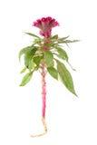 Cockscomb blomma Arkivbild