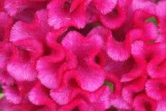 Cockscomb blomma Arkivfoto