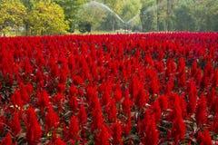 Cockscomb blomma Fotografering för Bildbyråer