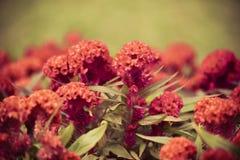 Cockscomb Blume Lizenzfreies Stockfoto