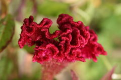 Cockscomb of celosia Stock Images