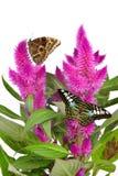 Cockscomb celosia spicata plant Stock Images