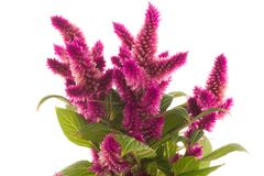 Cockscomb celosia spicata plant. On a white background Royalty Free Stock Photo