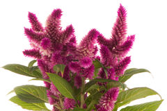 Cockscomb celosia spicata plant Royalty Free Stock Photography
