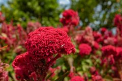 Cockscomb flower stock image