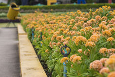 Cockscomb flower bed. Royalty Free Stock Photo