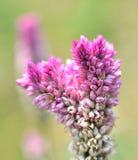 Cockscomb flower (Celosia Cristata) Stock Photo