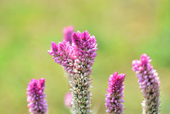 Cockscomb flower (Celosia Cristata) Royalty Free Stock Photos