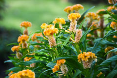 Cockscomb flower Stock Images