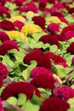Cockscomb flower Royalty Free Stock Image