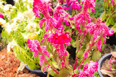 Cockscomb flower Stock Images