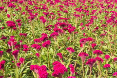 Cockscomb flower Royalty Free Stock Images
