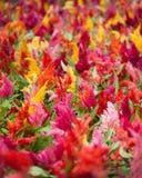 Cockscomb Flowers Stock Photo
