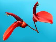 Cockspur de bloem van de koraalboom Stock Afbeelding