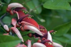Cockspurkorallträd i blom Royaltyfri Fotografi