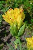 Cocktail di frutta del Tulipa (Fruitcocktail) Fotografia Stock