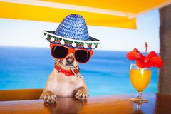 Cocktail dog at the beach club. Funny cool chihuahua dog drinking cocktail at the bar in a beach club party with ocean view stock images