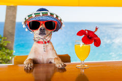 Cocktail dog. Funny cool chihuahua dog drinking cocktails at the bar in a beach club party with ocean view royalty free stock photography