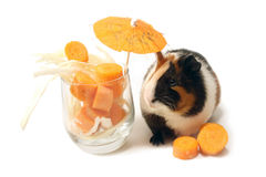Cocktail for guinea-pig. Stock Image