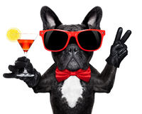 Cocktail party dog. French bulldog dog holding martini cocktail glass ready to have fun and party, isolated on white background royalty free stock images