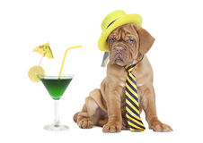 Cocktail puppy Royalty Free Stock Photos